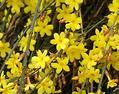 迎春花是什么颜色?迎春花怎么养