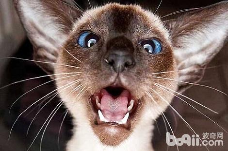 暹罗猫的眼屎很多是什么原因导致的?