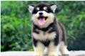 阿拉斯加在狗粮上一个月要花多少钱?