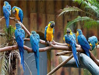 蓝黄金刚鹦鹉