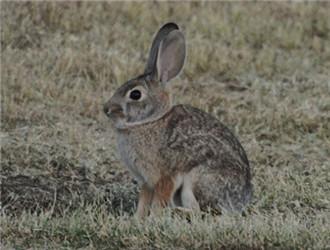 沙漠棉尾兔