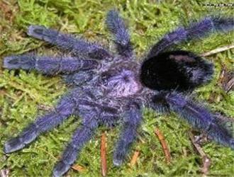 厄瓜多尔紫粉趾