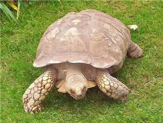 苏卡达象龟