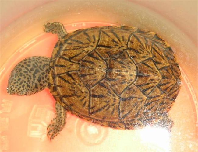 巨头麝香龟