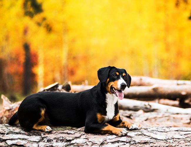 恩特雷布赫山地犬