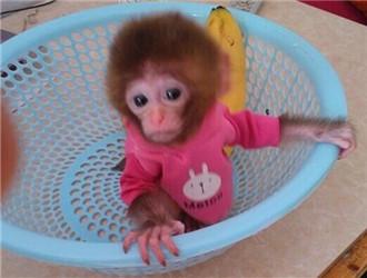 日本袖珍石猴