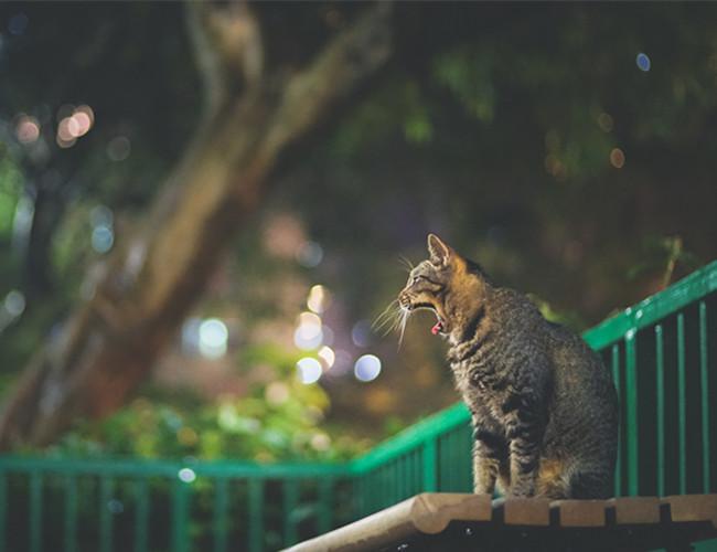 中国狸花猫