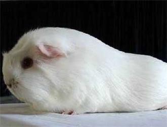缎毛白色凤冠天竺鼠