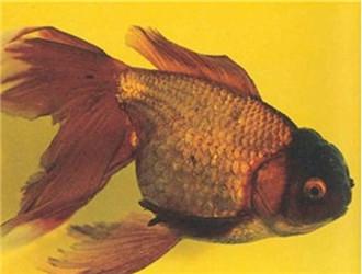 棕色高头翻鳃金鱼