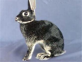 英种小型兔