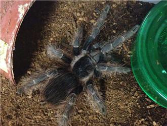 巴西红毛蜘蛛