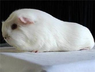 白色凤冠天竺鼠