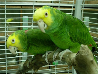 双黄头亚马逊鹦鹉