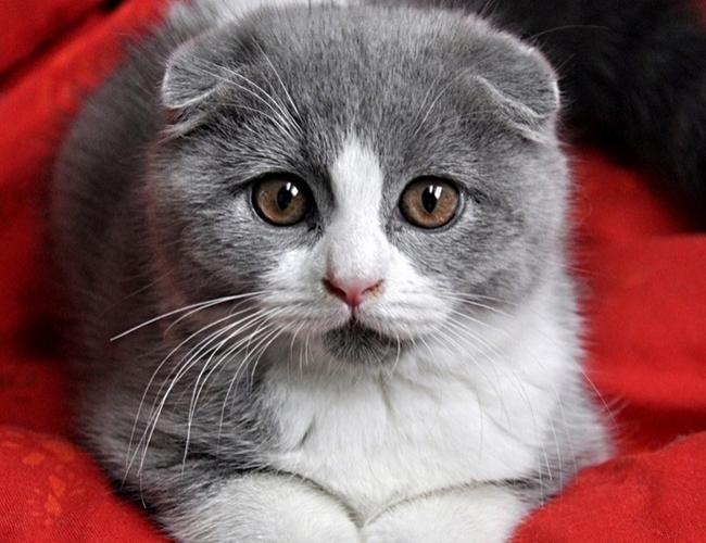苏格兰折耳猫